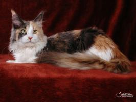 Foto 7 Kuschlige, traumhafte typvolle Maine Coon Kitten von HCM/SMA/PKD getesteten (Groß)Eltern abzugeben