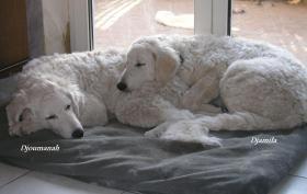 Foto 7 Kuvasz - Kuvaszhündin; 2 bezaubernde Junghündinnen suchen ein liebevolles Zuhause