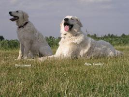 Foto 8 Kuvasz - Kuvaszhündin; 2 bezaubernde Junghündinnen suchen ein liebevolles Zuhause