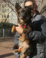 Foto 3 LEO entz�ckender Dackelmix wartet auf sein Zuhause, auf PS in Wien!