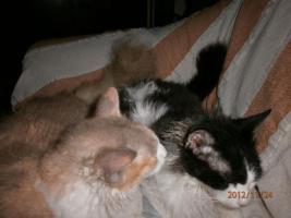 LaPerm die Katze mit den Dauerwellen