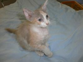 Foto 4 LaPerm die Katze mit den Dauerwellen