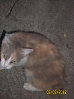 Foto 5 LaPerm die Katze mit den Dauerwellen