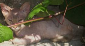 Foto 6 LaPerm die Katze mit den Dauerwellen