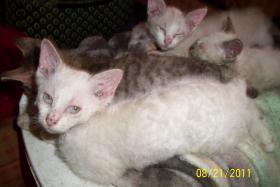 Foto 2 LaPerm Kitten
