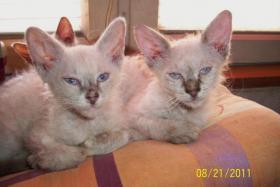 Foto 3 LaPerm Kitten