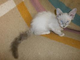 Foto 4 LaPerm Kitten