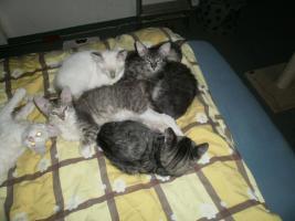 Foto 5 LaPerm Kitten