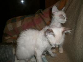 Foto 6 LaPerm Kitten