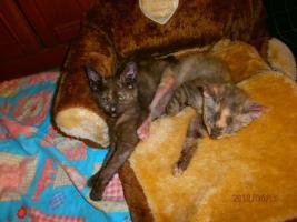 Foto 2 LaPerm Kitten glatthaarig