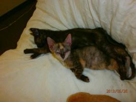 Foto 4 LaPerm Kitten glatthaarig