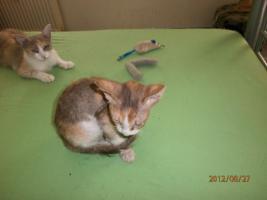LaPerm-Kitten longhair