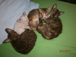Foto 3 LaPerm-Kitten longhair