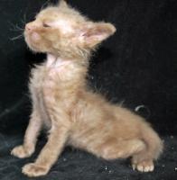 Foto 10 LaPerm, eine Rassekatze die robust, pflegeleicht, schmusig, kinderlieb ist
