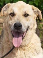 Labbi Labrador Mix FORD sucht ein zuhause oder PS