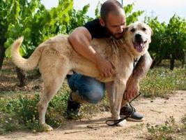 Foto 2 Labbi Labrador Mix FORD sucht ein zuhause oder PS
