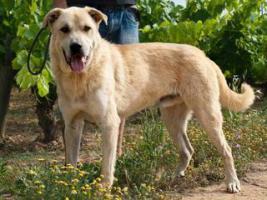 Foto 3 Labbi Labrador Mix FORD sucht ein zuhause oder PS
