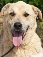 Foto 4 Labbi Labrador Mix FORD sucht ein zuhause oder PS