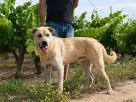Foto 6 Labbi Labrador Mix FORD sucht ein zuhause oder PS