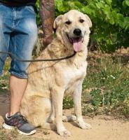 Foto 7 Labbi Labrador Mix FORD sucht ein zuhause oder PS