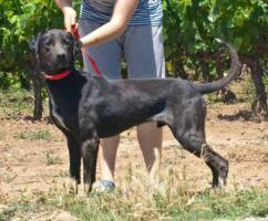 Labbi Labrador Mix GRU sucht ein Zuhause oder PS