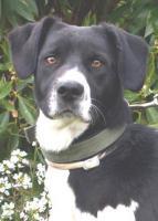 Foto 2 Labbi Labrador Mix LULO sucht ein zuhause oder PS