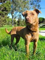 Foto 4 Labbi Labrador Mix NASTY sucht ein zuhause oder PS