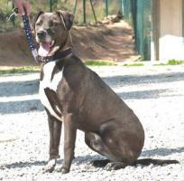 Foto 4 Labbi Labrador Mix RAMSES sucht ein Zuhause oder PS