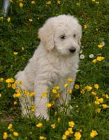 Foto 3 Labradoodle (Labrador x Königspudel) Welpen