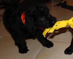 Foto 2 Labradoodle-Welpen abzugeben!