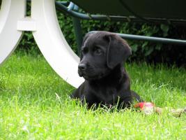 Foto 3 Labrador