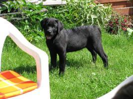 Foto 4 Labrador
