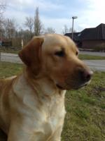 Labrador-Deckrüde gesucht !