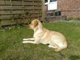 Foto 2 Labrador-Deckrüde gesucht !