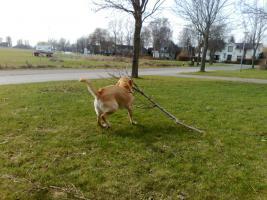 Foto 3 Labrador-Deckrüde gesucht !
