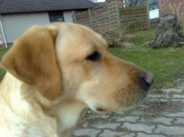 Foto 7 Labrador-Deckrüde gesucht !