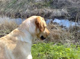 Foto 9 Labrador-Deckrüde gesucht !