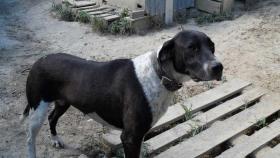 Foto 2 Labrador-Doggen-Mix Apache sucht ...