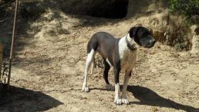 Foto 3 Labrador-Doggen-Mix Apache sucht ...
