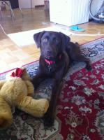 Foto 2 Labrador Englische Rasse
