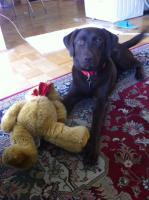 Foto 3 Labrador Englische Rasse