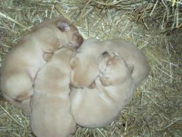 Labrador-Golden-Retriever Welpen
