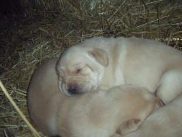 Foto 2 Labrador-Golden-Retriever Welpen