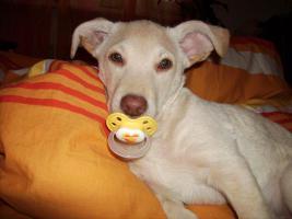 Labrador Goldenretriver Hund, Super Süss
