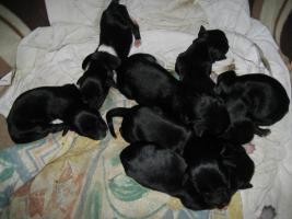 Foto 5 Labrador Kleiner Münsterländer Mix Schöne Welpen Top Preiß von 290 Euro