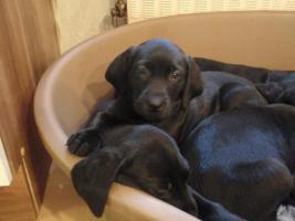 Foto 2 Labrador-Mischlinge