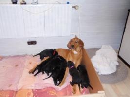 Foto 3 Labrador-Mischlinge