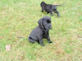 Foto 4 Labrador-Mischlinge