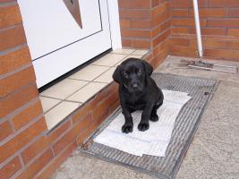 Labrador-Mischlingswelpen