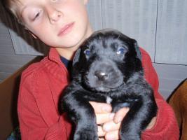 Foto 4 Labrador-Mischlingswelpen